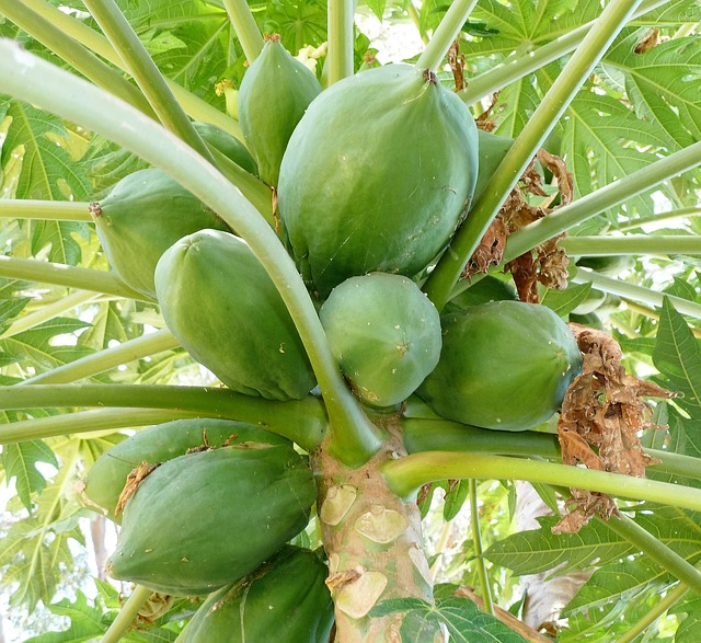 papaja strom