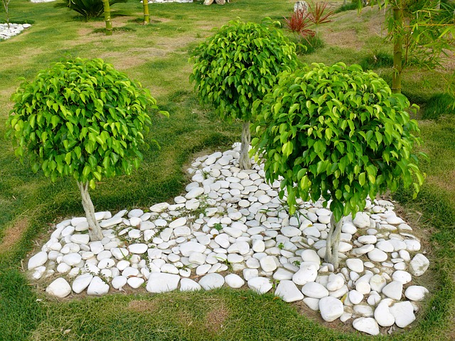 fikusy v zahradě