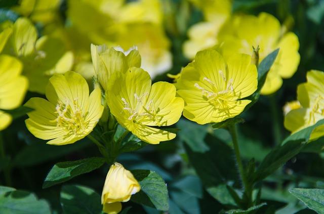 žluté primule
